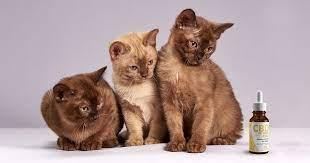 cat cbd oil
